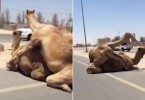 PIC FROM MERCURY PRESS (PICTURED: THE CAMELS STOP TRAFFIC BY THE SIDE OF SHEIKH MOHAMMED BIN ZAYED ROAD IN DUBAI)  Two randy camels gave motorists the hump when their roadside love-making brought traffic to a halt on rural motorway. Hilarious footage filmed by a British ex-pat in the United Arab Emirates†shows the†promiscuous pair going hammer-and-tongs as motorists pull over to avoid the danger. One of the camels appears to have mounted the other on the central reservation of†Sheikh Mohammed Bin Zayed Road, between Dubai and†Ras Al-Khaimah, on Thursday afternoon. SEE MERCURY COPY