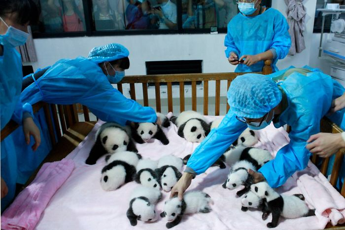 Breeders take care of giant panda cubs inside a crib at Chengdu Research Base of Giant Panda Breeding in Chengdu, Sichuan province, September 23, 2013. Fourteen new joiners to the 128-giant-panda-family at the base were shown to the public on Monday, according to local media. REUTERS/China Daily (CHINA - Tags: SOCIETY ANIMALS TPX IMAGES OF THE DAY) CHINA OUT. NO COMMERCIAL OR EDITORIAL SALES IN CHINA